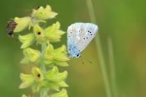Modrásek komonicový