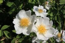 Růže bedrníkolistá