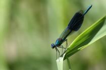 Motýlice lesklá - Calopteryx splendens , Josefovské louky, 5.8.2013