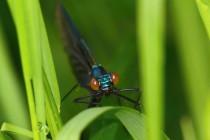 Motýlice obecná - Calopteryx virgo (imago těsně po vylíhnutí), PR Peklo, 16.5.2009