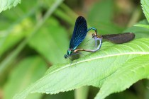 Samečci motýlic jsou díky kovovému lesku a nápadné barvě k nepřehlédnutí, samičky jsou méně nápadné