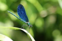 Ve střední Evropě se vyskytují dva druhy - motýlice obecná