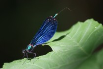 Motýlice obecná - Calopteryx virgo, PR Peklo, 24.5.2009
