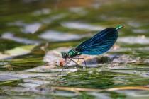 Zatímco samci patrolují na vegetaci u vodní hladiny