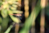 Vážka žíhaná. V srpnu jeden z nejběžnějších druhů.