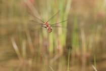 Vážka žíhaná - Sympetrum striolatum, Jívka, 30.8.2015