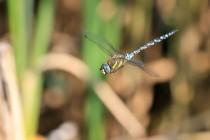 Šídlo pestré - často se za letu zastaví i na delší dobu. Ze všech vážek se fotí nejlépe. V galerii jsou i mnohem lepší starší fotky...