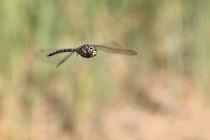 Šídlo sítinové - vzácnější druh