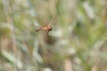 Šídlo velké. Samice se chystá klást vajíčka. Samci létají cik-cak a  vůbec se nezastavují. Vyfotit je v letu je skoro nemožné...