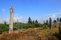 Orlické hory - imisní holiny a nepůvodní kleč