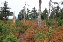 Stromy mizí, pěšina se klikatí borůvčím