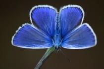 Modrásek Icarus - běžný ale krásný a nedoceněný motýl