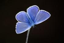 """Nicméně modrá čerstvě vylíhlých samců je úžasná. Fotografováno navečer na louce. Podexponováno a """"dosvíceno"""" odrazem světla z alobalu..."""