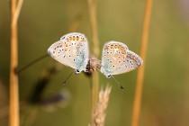 Samci se z večera houfují na vysoké uschlé trávě, kde přenocují.
