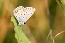 Modrásek jehlicový - Polyommatus icarus , Strabišov, 26.7.2013