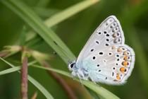 Modrásek jehlicový v typické pozici se sevřenými křídly. Zaujme i kresba na rubu...
