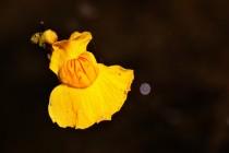 Bublinatka jižní - detail květu