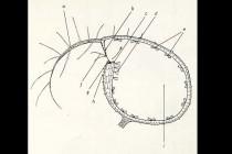 Schéma lapacího měchýřku bublinatky: a - anténovitý výčnělek, b - záklopka uzavírající hrdlo, c - práh, d - dvouramenné žlázy k vyčerpávání vody, e - čtyřramenné trávicí žlázy, f - citlivé chlupy (spoušť pasti), g - velum, h - vnější slizové žlázy, i - prostor naplněný vodou, v němž se tvoří podtlak. Kresba R. Studničková. obr. - http://www.masozravky.com/