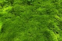 Polštáře rašeliníků