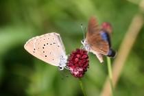 Modrásek bahenní - Maculinea nausithous a Modrásek očkovaný - Maculinea teleius, oba druhy se kolem Náchod stále ještě roztroušeně vyskytují, přičemž modrásek bahenní je o něco běžnější.