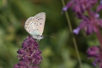 Modrásek bělopásný - Aricia eumedon , Slovensko- Spiš, 10.7.2010 IMG_3306