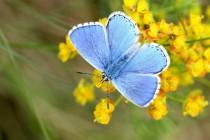 Krásný modrásek jetelový má poslední východočeskou populaci na Chrašické stráni u Chrudimi