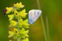 Modrásek komonicový - poslední dnešní populace skomírají daleko na Moravě