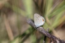 Modrásek štírovníkový přežívá u Náchoda na polské straně hranic v Malé Čermné