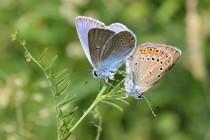 Velmi vzácně se Náchodsku vyskytuje i modrásek ušlechtilý. Na Broumovsku a v Orlických horách je o něco hojnější.
