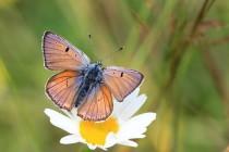 Stejně tak i u vzácnějšího ohniváčka modrolesklého. Obecně platí, že v Polsku je krajina i motýlí fauna mnohem pestřejší. Souvisí to hlavně s malorolním hospodařením.