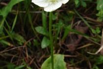 Tolije bahenní - Parnassia palustris, Dobrošov, 16.8.2006