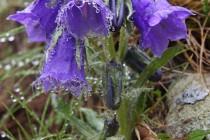 Zvonek vousatý -  místní botanická rarita