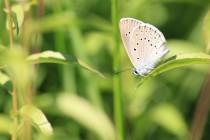 Modrásek očkovaný - Maculinea teleius
