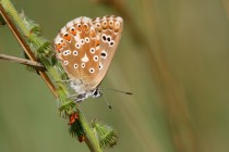 Modrásek vikvicový - Polyommatus coridon