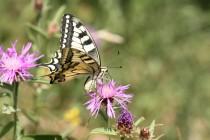 Otakárek fenyklový - Papilio machaon