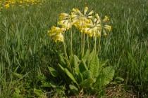 Prvosenka jarní- Primula verna