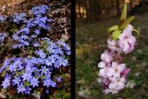 Jaterník podléška - Hepatica nobilis a Lýkovec jedovatý - Daphne mezereum
