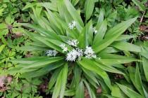 Česnek medvědí pravý - Allium ursinum, PR Zbytka, 24.4. 2016