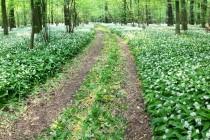 PR Zbytka - česnek medvědí v bylinném patře