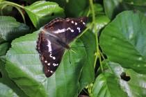 Batolec duhový - Apatura iris , Náchod- 28.6.2015
