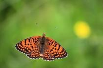 Krajina plná vzácných motýlů - hnědásek kostkovaný