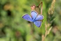 Cestou opět zajímaví motýli - modrásek černolemý