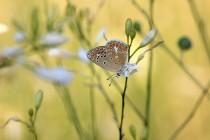 Modrásek vičencový - Polyommatus thersites, Kurdějov - Kamenný vrch, 23.7.2016  IMG_4095