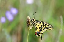 Otakárek fenyklový - Papilio machaon, Sendraž, 16.7.2016