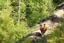 Pohoří Tarcu - lesní pastva