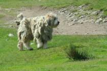 Pohoří Tarcu - pastevecký pes, foto KH