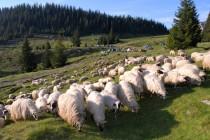 Ovečky v našem táboře