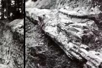 Největší ze zkamenělých stromů ale čeká na svém místě na znovuobjevení