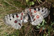 Jasoň červenooký - kopulace. Samec uchvátil samici za letu a poté pár spadl do trávy, kde zůstal ve spojení několik hodin...