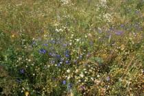 Úhory, meze a květnaté lemy polních cest v dolině nabízejí potravu i dalším druhům motýlů